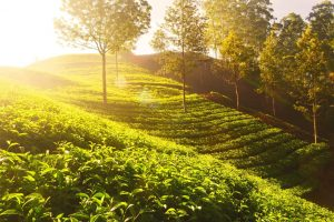basic general knowledge for kids about tea garden