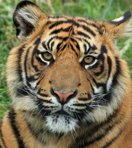 tiger has yellow colored eyes